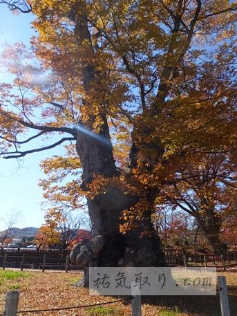 【福島】棚倉城跡(亀ヶ城公園)の紅葉と御神木 (棚倉町)★★