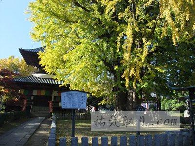【栃木】 国宝 鑁阿寺の大銀杏(足利市)★★★★