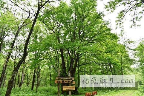 天人峡 モリの神様の木